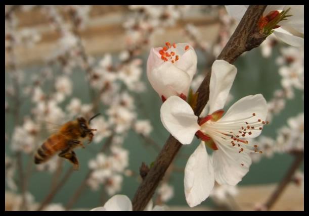 保定植物园的杏花