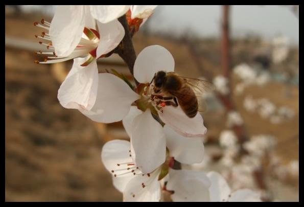 保定植物园的杏花<p>